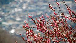 3月下旬に長瀞アルプスロウバイは咲いているのか?