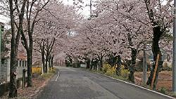 意外と穴場かも?大平山の桜のトンネルへドライブしてきた。