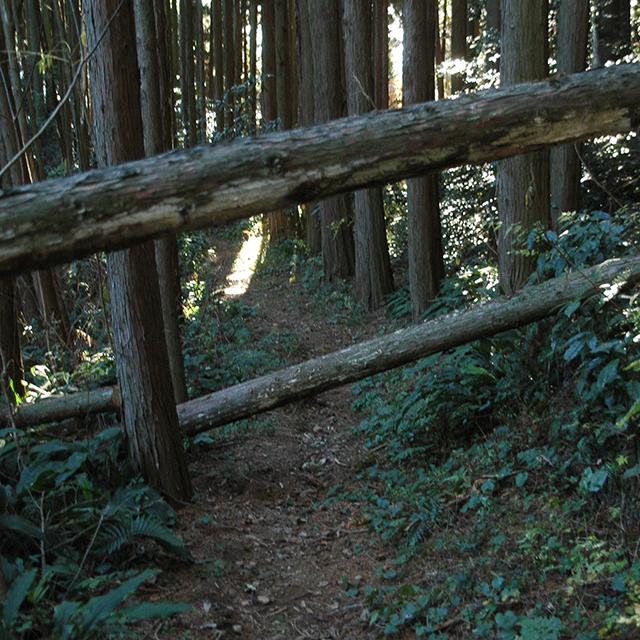 浜石岳倒木