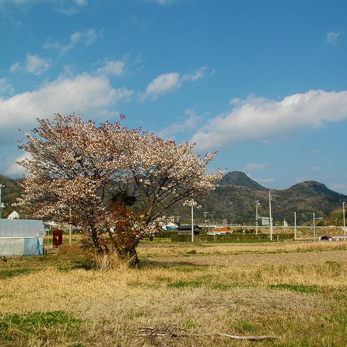 一本だけ咲いている桜